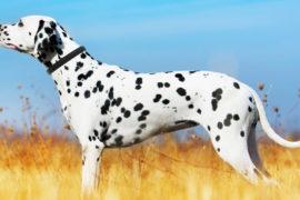 Dogtelligent Dog Collar