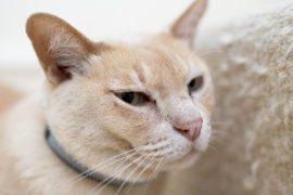 Pawtrack GPS Cat Tracking Collar